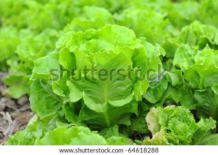 healthy lettuce growing in the soil