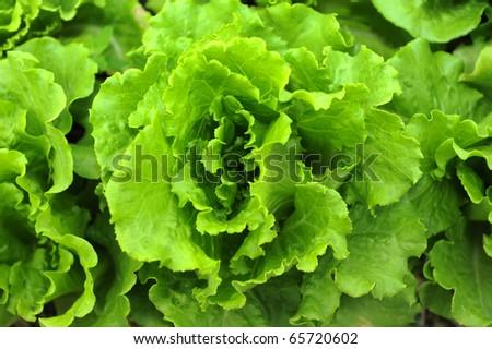 healthy lettuce growing in the soil