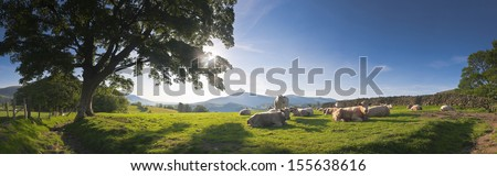 Healthy Livestock Enjoying The Early Morning Sunlight, Dry Stone Wall And Gently Rolling Mountains In The Background, Lake District, Uk. Perspective Corrected Panorama Detailed When Viewed Large.