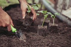 Healthy organic food concept. Seedling of a green plant of a cucumber. Spring. Male hands rake the earth around the sprout. Close-up - a human hand holding a seedling uses a small garden shovel.