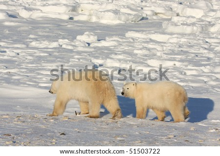 Healthy polar bear and her cub walking in the arctic snow in search of food