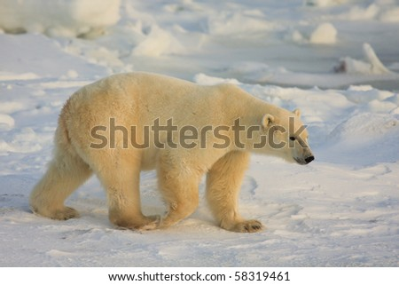 Healthy polar bear in the arctic, near Hudson Bay in Canada, searching for food
