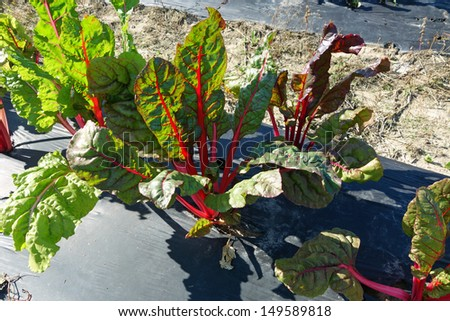 Healthy rhubarb plants growing on the farm