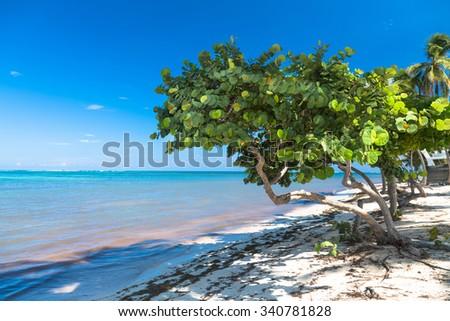 Healthy sea grape tree in the tropical beach.