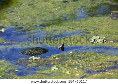 Healthy turtle in an algae covered pond partially submerged