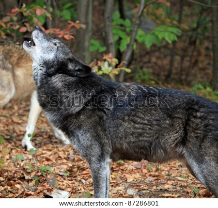 Healthy wild wolf in the woods, howling
