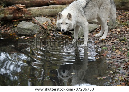 Healthy wild wolf in the woods, with reflection in the pond