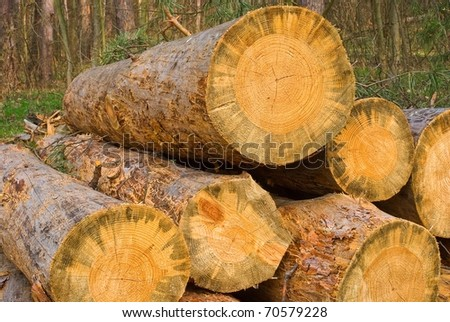heap of pine tree logs in a forest