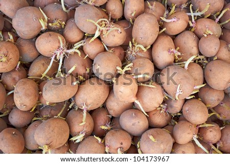 Heap of potatoes tubers with germinated sprouts before planting into the soil in springtime