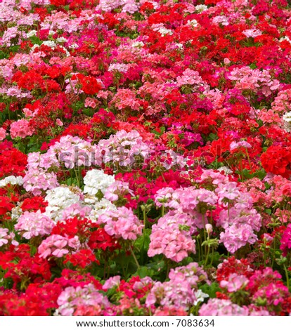 heaps of geraniums for a beautiful floral background