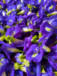 Heaps of Telang flowers or Clitoria ternatea plucked from the tree