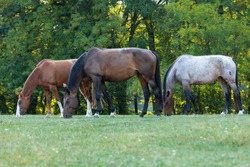 heard of horses in a meadow, chestnut horse, brown horse and red roan horse in a meadow