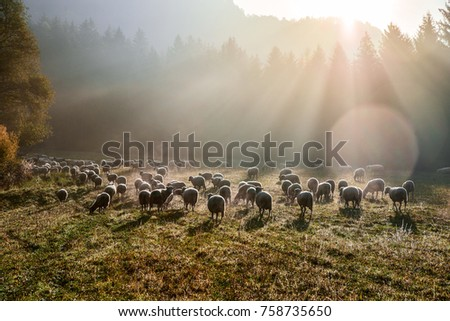 Heard of sheep in foggy morning in autumn mountains #758735650