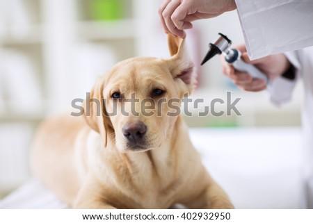 Hearing checkup of labrador dog in vet ambulance