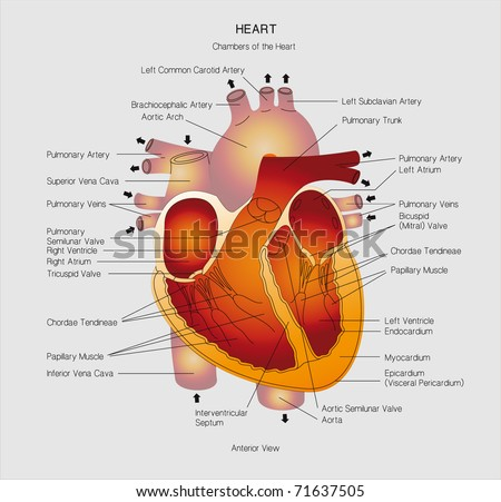 heart cross section. - stock photo