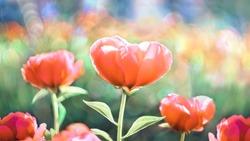 Heart flower Peony, flowering on the background, a beautiful flowers bokeh.