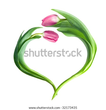 heart from purple tulips isolated on white