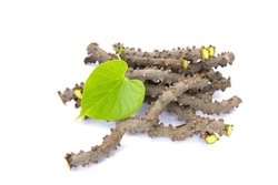 heart leaf moonseed herb for healthy, Tinospora cordifolia (Willd)., Menispermaceae
