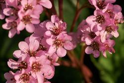 Heart-leaved bergenia ornamental plant pink flowers close up