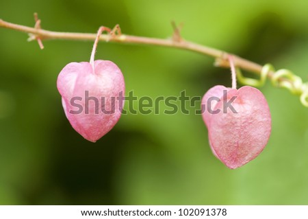 Heart shape and sweet pink color of Coral vine flower like a sign of love