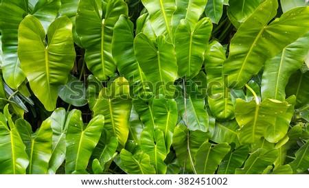 Heart shape leaf texture #382451002