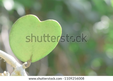 Heart shape leave (Hoya) in green bokeh background with morning light, copy space. #1109256008