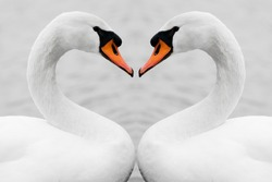 Heart shape love symbol from neck of two white swans. Symmetry, true love, beauty in nature.