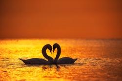 Heart shape of white swans in the sea,sunrise shot.