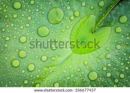 Heart shape water drop on lotus leaf