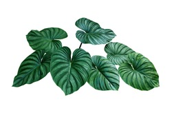 Heart shaped bicolors leaves of Philodendron plowmanii the rare exotic rainforest foliage plant isolated on white background, clipping path included.