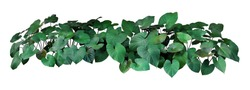 Heart shaped dark green leaves of Homalomena plant (Homalomena rubescens) the tropical foliage plant bush growing in wild, popular houseplant isolated on white background with clipping path.