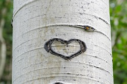 Heart Shaped Glyph Carved into the white bark of an Aspen Tree in Great Basin National Park, Nevada, USA.