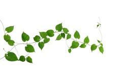 Heart shaped green green leaves climbing vines ivy of cowslip creeper (Telosma cordata) the creeper forest plant growing in wild isolated on white background, clipping path included.