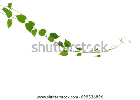 Heart shaped green leaf climbing vines plant isolated on white background, clipping path included. Cowslip creeper the medicinal tropical plant.