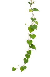 Heart shaped green leaf vines isolated on white background, clipping path included.