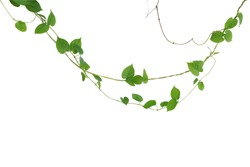 Heart shaped green leaf vines isolated on white background, clipping path included. Cowslip creeper, medicinal plant.