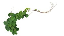 Heart shaped green leaves of Obscure morning glory (Ipomoea obscura) climbing vine plant isolated on white background, clipping path included.