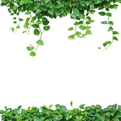 Heart shaped green leaves vine, devil's ivy, golden pothos, isolated on white background, nature frame with copy space.