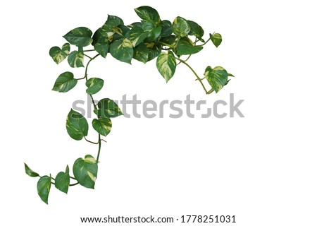 Heart shaped green variegated leave hanging vine plant of devil's ivy or golden pothos (Epipremnum aureum) popular foliage tropical houseplant isolated on white with clipping path.