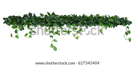 Heart shaped green yellow leaves of devil's ivy or golden pothos, bush with hanging branches isolated on white background, clipping path included. #627345404
