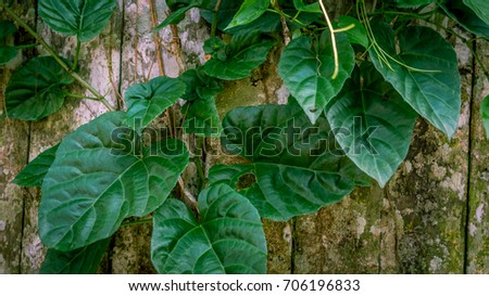 heart shaped ivy green leaves...