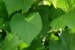 Heart shaped leaf of Ipomoea purpurea (common or tall morning-glory, purple morning glory) on green vine, close-up, selective focus, copy space for text