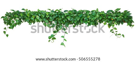 Heart shaped leaves vine, devil's ivy, golden pothos, isolated on white background, clipping path included. Ornamental plant with natural fresh and dried leaves in panorama view.