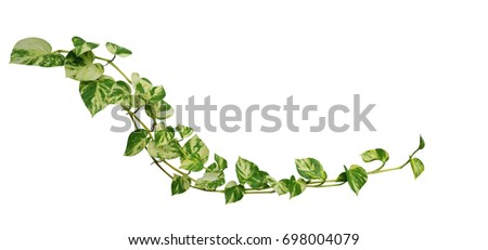Heart shaped leaves vine golden pothos isolated on white background, tropical climbing jungle plant, clipping path included