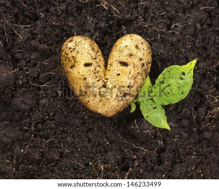 heart shaped potato lying on the garden soil background in bright daylight
