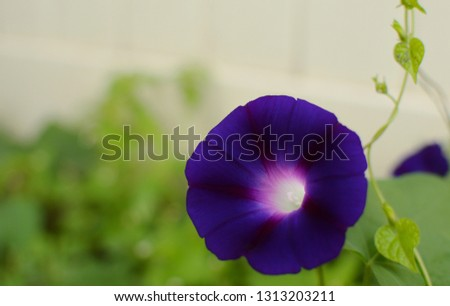 Heart Shaped Purple Morning Glory Flower White Background Text Copy Space