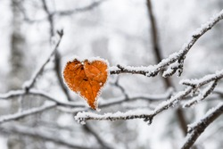 Heart-shaped yellow birch leaf covered with frost. Valentine's day concept.