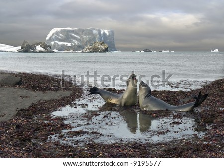 heart-to-heart talk of elephant seals. background - Flat Top rock, 500 feet height