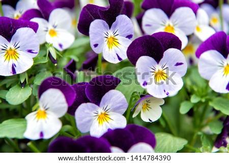 Heartsease viola flower. Viola genus of flowering plants in violet family violaceae. Beautiful gorgeous flower. Viola exhibition. Park and landscape design. Flower shop. Beauty plants. Сток-фото ©