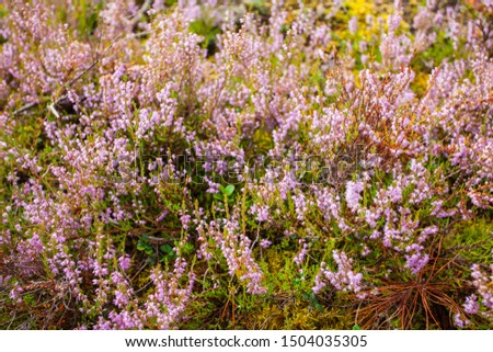 Heather. Beautiful heather bush with flowers in the forest #1504035305